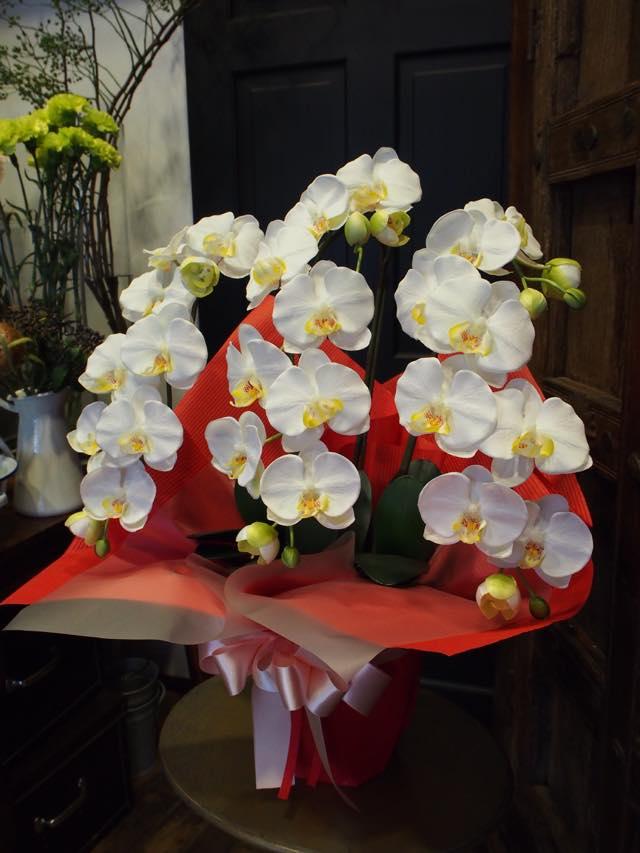 光触媒の胡蝶蘭