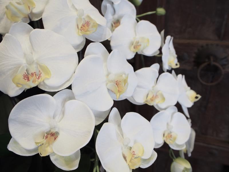 胡蝶蘭の魅力である花の美しさ