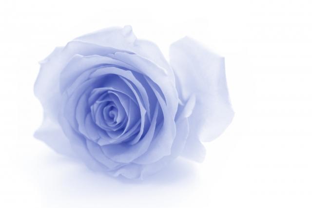 水色のバラの花